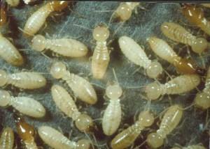 Produits de lutte contre les termites