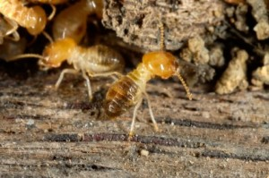 Checking for active termites