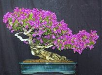 Caring For Bougainvillea Bonsai