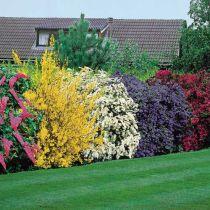 Eviggrønne blomstrende busker for landskapspleie