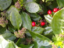Choosing Small Evergreen Shrubs For Your Garden
