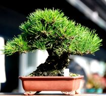 Caring For Black Pine Bonsai