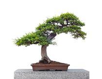 Taking care of a bonsai tree