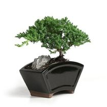 Bonsai Tree History