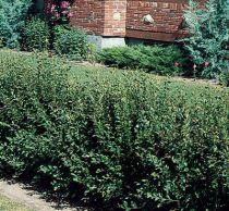 Choosing Small Shrubs For Your Garden