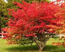 Caring For Burning Bush Shrubs