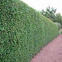 Velge Evergreen busker for å lage skyggefulle områder