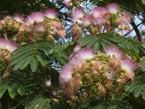Facts about mimosa trees