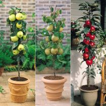 The charm of miniature fruit trees