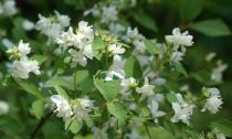 Caring For Mock Orange Shrubs