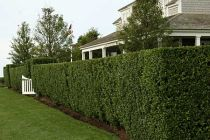 Shrubs Which Offer Privacy