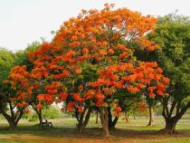 Taking care of Royal Poinciana tree