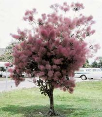 Smoke Tree – on oman puutarhan