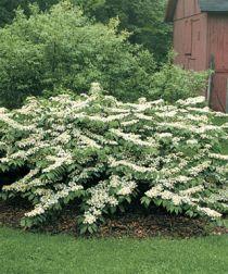Omsorg For Viburnum busker