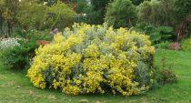 Busker med gule blomster