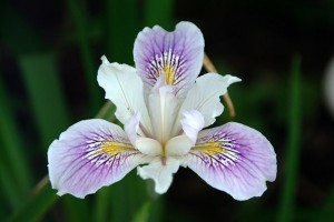 The iris – a mythological flower