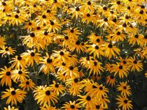 Black Eyed Susan Λουλούδια
