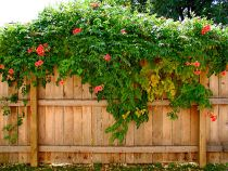 Types of flowering vines