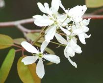The Serviceberry tree
