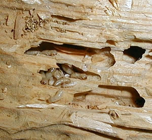 Attacking termite damage