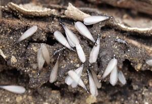Enjambre de termitas