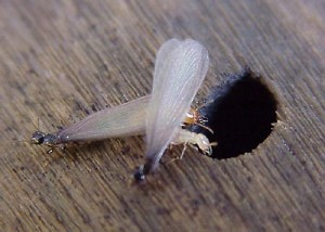 Un trou de traitement contre les termites