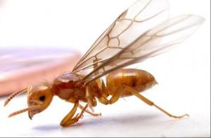 Termites volants