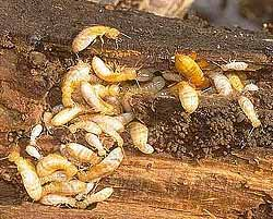 About damp wood termites