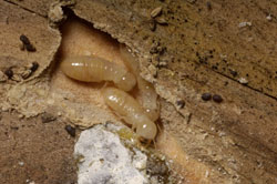 Drywood termite treatments