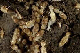 Ta bort underjordiska termiter