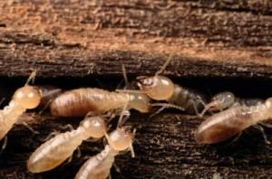 Reparación de los daños a los pisos de las termitas