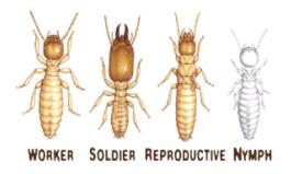 Het identificeren van termieten