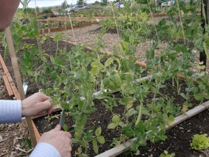 Snap peas - drip irrigation system