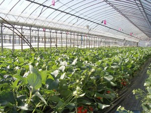 Greenhouse irrigation systems