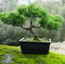 What is the art of bonsai?