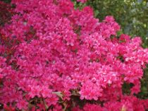 Flowering Shrubs That Love Sunlight