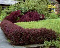 Pruning Barberry Shrubs