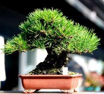 Caring For Black Pine Bonsai
