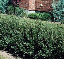 Velge Små busker for hagen din