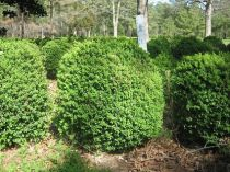 Choosing Deer Resistant Shrubs For Your Garden