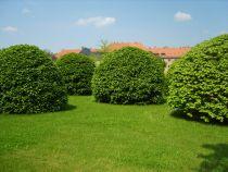 Velge en eviggrønn busk for hagen din