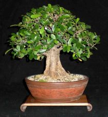 Caring about a ficus bonsai tree