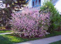 Chosing blomstrende busker For skyggefulle områder