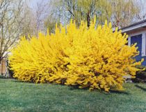 Omsorg For The Forsythia Bush
