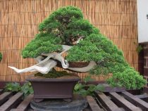 About The Juniper Bonsai