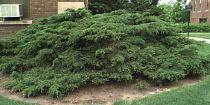 Valitsemalla ja Leikkaaminen Juniper pensaat