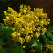 Benefits of The Oregon Grape Root Shrubs
