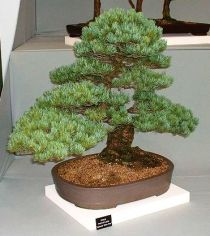 Caring for a pine bonsai tree