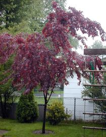 About The Purple Leaf Plum Tree