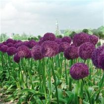 Planting Allium Bulbs